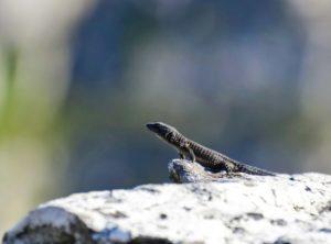 Um dos lagartos que vi na subida da Table Mountain