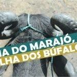 Ilha do Marajó, a Ilha dos Búfalos no Pará