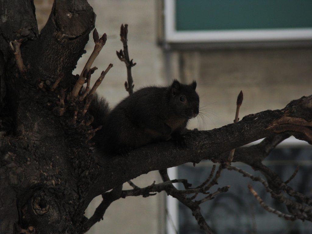 esquilo de toronto